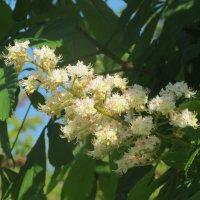 Дерево в цвету :: Людмила