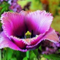Лиловый бархат цветущих тюльпанов. :: Валентина ツ ღ✿ღ