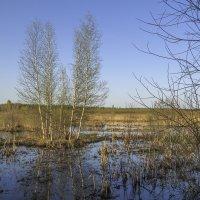 Островок с березками :: Сергей Цветков