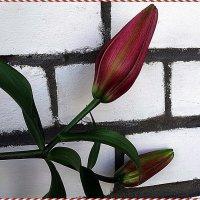 Бутоны лилии  fangio pink :: Вера