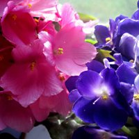 Фиалки улыбаются весне :: Елена Семигина