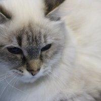 Гламурная кошка :: Анастасия Рябкова