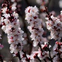 Абрикоса цветёт... :: Tatiana Kretova