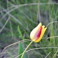 степной тюльпан 1 :: Валерия Шамсутдинова