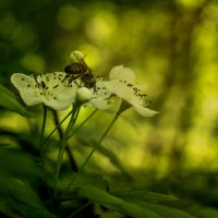 На цветке :: Владимир Бегляров