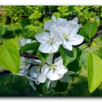 Яблони в цвету. :: Чария Зоя