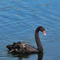 Черный лебедь :: Андрей Козов