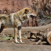 Песочный волк :: Андрей Козов