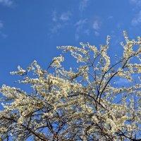 вишня цветет :: Валерия Шамсутдинова