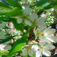 цветущая ветка сливы :: SoNata_78
