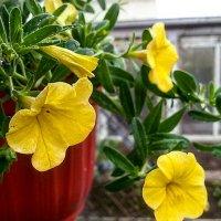 Желтые цветы в дождливый день....очень радуют :: Galina Belugina