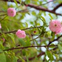 Майская роза :: Олеся Загорулько