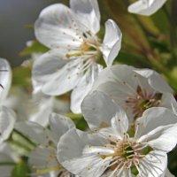 вишневый цвет :: оксана