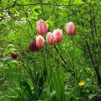 Тюльпаны :: Маргарита Батырева
