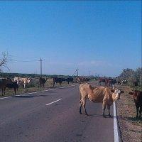 Коровы на дороге. :: Наталья Владимировна