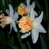 Весенние цветы, как Вы прекрасны! :: Катерина Клаура
