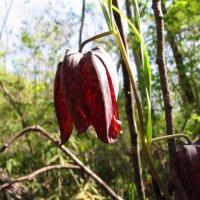 лесной и редкий рябчик... краснокнижный :: doberman