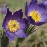 цветы Алтая :: Alexandr Staroverov