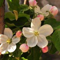 Яблоня в цвету :: Оксана Полякова