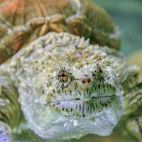 Каймановая черепаха :: олег