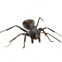 Агрессивный лесной муравей :: Николай Мелонов