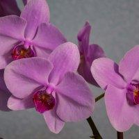 Орхидея. 10.05.17 г. :: Светлана Исаева