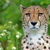 Взгляд гепарда :: Alexander