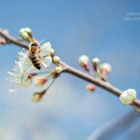 слива цветет :: Tatyana Belova