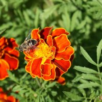 Пчела. :: Александр Владимирович Никитенко