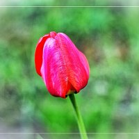 Майский тюльпан. :: Натали