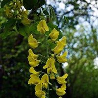 Карагана древовидная, называемая также желтой акацией или гороховником :: Александр Корчемный