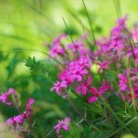 Эти розовые цветы :: Иван Лазаренко