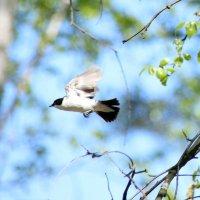 полет мухоловки :: оксана