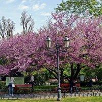 Церцис (Cercis), или Иудово дерево :: Александр Корчемный
