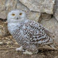 Полярная сова :: олег