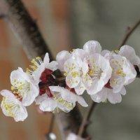 Хороши весной в саду цветочки. :: Вячеслав Медведев
