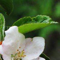 Будущее яблочко :: Galina Belugina