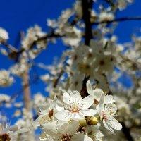 Вишневый цвет. :: Tatjana