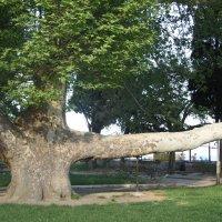 дерево...набережная...г.Алушта :: Валерия Тарасова