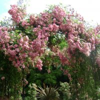 Розовый сад. Англия :: Марина Домосилецкая
