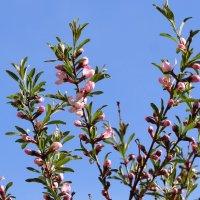 Три цветущие ветки :: Наталья Золотых-Сибирская