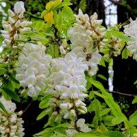 Белой акации гроздья душистые... :: Нина Бутко