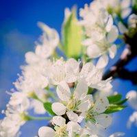 Весна цветёт :: Оксана Кузьмина
