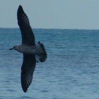 Чайка на Чёрном море :: Екатерина Рыбина