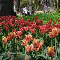 Аптекарский огород утопает в тюльпанах :: Татьяна Помогалова