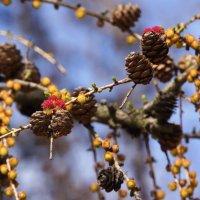 весна лиственница :: александр