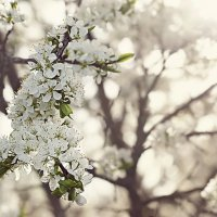 Цветение сливы :: Алиса Колмагорова
