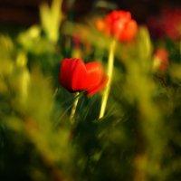 Аленький цветочик... :: павел Труханов