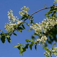Весеннее солнышко на природу манит и запах черемухи сладко так  дурманит ... :: Paparazzi