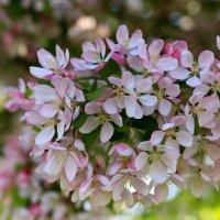 Бело-розовым цветеньем, радует весна. :: Ирина ...............